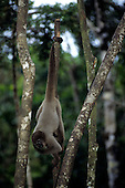 Manaus, Brazil. Woolly monkey swinging by its prehensile tail from a broken tree stem. Amazon.