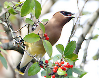 Cedar waxwing eating yaupon berry