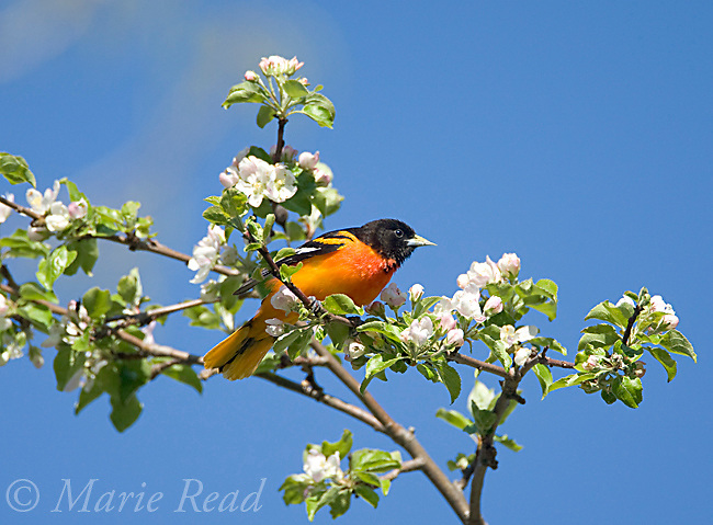Baltimore Oriole (Icterus galbula), male foraging amid apple blossom,  New York, USA