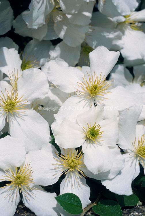 Clematis montana var. sericea, white flowered climbing vine with yellow stamens