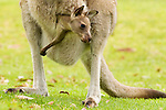 Eastern Grey Kangaroo (Macropus giganteus) joey in mother's pouch, Jervis Bay, New South Wales, Australia
