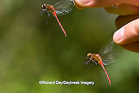 06663-00116 Ruby Meadowhawk (Sympetrum rubicundulum) & White-faced Meadowhawk (Sympetrum obtrusum) dragonflies males in hand, IL
