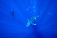 oceanic whitetip shark, Carcharhinus longimanus, short-finned pilot whale, Globicephala macrorhynchus, and yellowfin tunas, Hawaii, Pacific Ocean