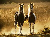 .Aerial shot of Arabian Horse herd galloping acroos large open paddock..