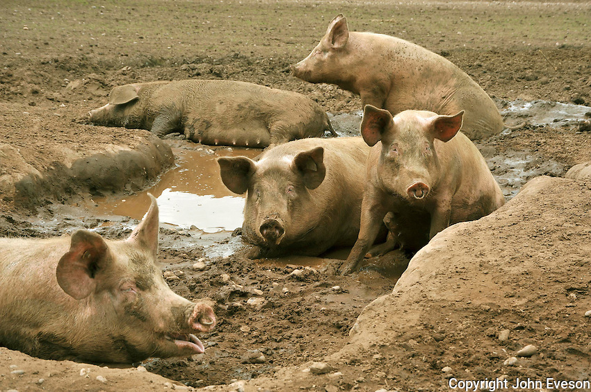 Outdoor pigs wallowing in mud. Large White......Copyright..John Eveson, Dinkling Green Farm, Whitewell, Clitheroe, Lancashire. BB7 3BN.01995 61280. 07973 482705.j.r.eveson@btinternet.com.www.johneveson.com