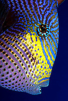 The black durgon  [Melichthys niger] is a member of the triggerfish family that feeds on algae and zooplankton.  Hawaii. reef fish fishes vertebrate pacifc ocean tropical color colorful underwater, marine