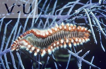Fire Worm (Hermodice), Polychaete Annelid.