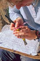 Bird research, data collection on a Wilson's Warbler, caught in a mist net in Denali National Park, Fairbanks, Alaska
