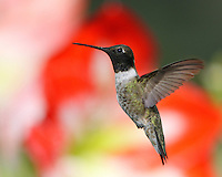 Black-chinned Hummingbird male (Archilochus alexandri) and Amaryllis flower.
