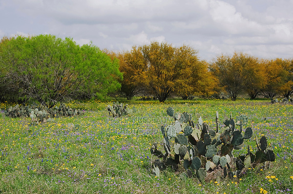 Wildflower Field With Huisache Tree And Prickly Pear Cactus Rolf
