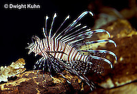 TP03-006a  Red Lionfish - Red Volitans or Turkeyfish - Pterois volitans