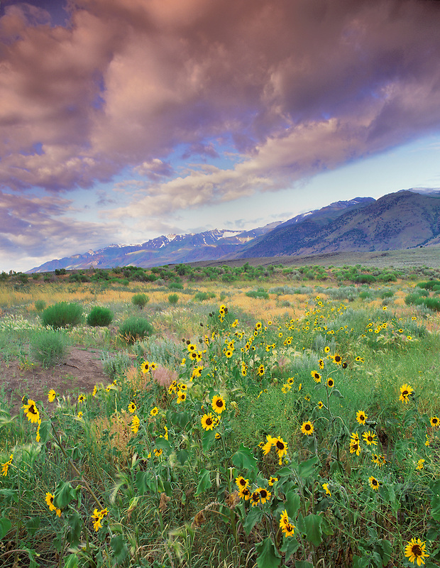 Sunflowers and steens Mountain, Oregon