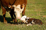 Cow No. 322 bonds with her newborn calf at the Stoney Creek Corrals of the Busi Ranch, Amador County, Calif.