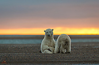 When we first saw these two Polar Bears cuddled up together on the beach, just before sunrise, we thought they were siblings or perhaps a mating pair.  However, once the sun started coming up, the bear on the right started nursing on his mother, who was only slightly larger than the cub!  Here you can see him enjoying his breakfast.  Mother bear looks a little tired.  Kaktovik, Alaska.