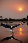 Within Botswans's Okavango delta, an African fish-eagle swoops across the lake's surface to pluck a fish out of the water.