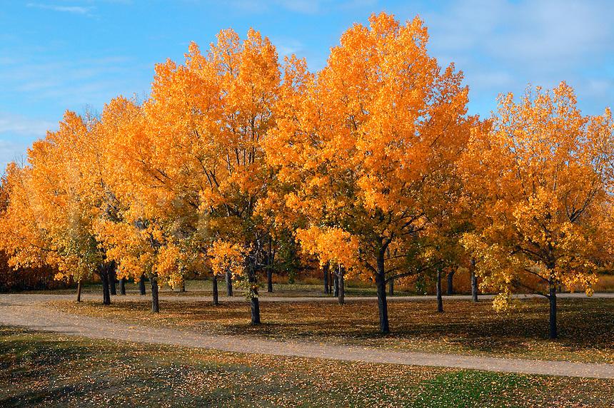 Fall colors in a small park, Dawson Creek, British Columbia, Canada.