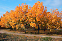 Fall colors in a small park, Dawson Creek, British Columbia, Canada.
