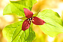 Sometimes beauty stinks, demonstrated by the arrival of the purple trillium or 'stinking benjamin'  in the spring.