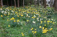 Blythewold, Bristol, RI daffodils