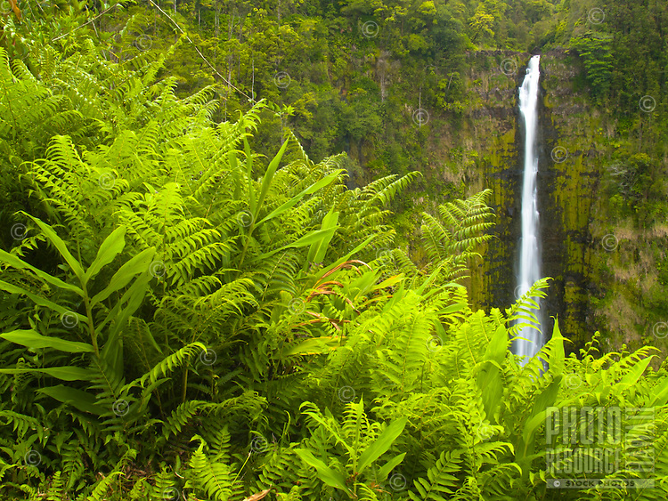 Lush green ferns grow tall in front of 'Akaka Falls, Hamakua Coast, Big Island.