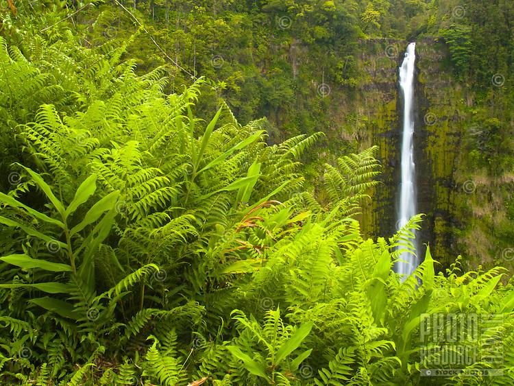 Lush green ferns grow tall in front of 'Akaka Falls, Hamakua Coast, Big Island.
