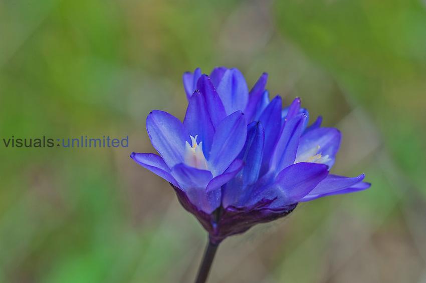 Blue Dicks (Dichelostemma capitatum), Armstrong Redwoods State Natural Reserve, Guerneville, California, USA