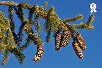 Pine Cones on pine tree branch, French Alps, France (Licence this image exclusively with Getty: http://www.gettyimages.com/detail/82406545 )