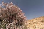 Israel, the Negev desert. Almond tree in Wadi Eliav