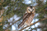 Northern Saw-whet owl h