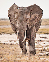Elephant making a mock charge across the marshland plains of the Amboseli National Park, Kenya, Africa (photo by Wildlife Photographer Matt Considine)