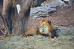 LION POSES BY TREE AT DENVER ZOO