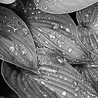 Hosta Leaves with Rain Drops