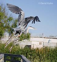 0829-0908  Flying Great Blue Heron, Ardea herodias © David Kuhn/Dwight Kuhn Photography