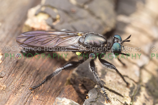 A Bee-like Robber Fly (Laphria sicula) perches on the trunk of a fallen dead oak tree.