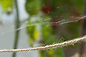 Fine webs spun by red spider mites on tomato plants grown in a glasshouse, late September.