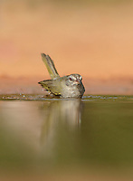 Olive Sparrow (Arremonops rufivirgatus), adult bathing, Rio Grande Valley, South Texas, Texas, USA