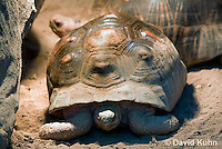 0217-1101  Radiated Tortoise, Found in Madagascar, Astrochelys radiata (syn. Geochelone radiata)  © David Kuhn/Dwight Kuhn Photography