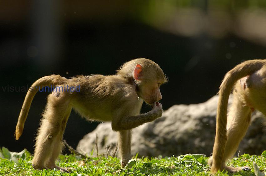 Hamadryas Baboon (Papio hamadryas) young animal feeding. Captive