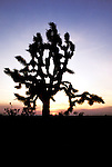 California Desert: Photo of joshua tree at Joshua Tree Park..Photo copyright Lee Foster, www.fostertravel.com..Photo #: rvdeat102, 510/549-2202, lee@fostertravel.com