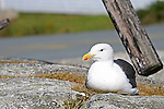 Images of The Canadian Maritime Provinces of Nova Scotia and Prince Edward Island.  Seagull at Peggy's Cove.