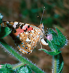 Painted Lady laying eggs