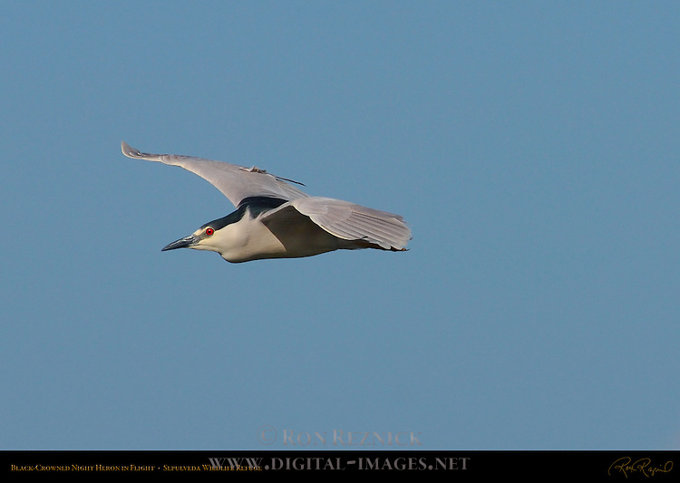 Black-crowned Night Heron in Flight, Sepulveda Wildlife Refuge, Southern California