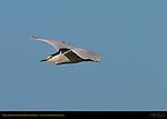 Black-crowned Night Heron in Flight, Sepulveda Wildlife Refuge, Southern California