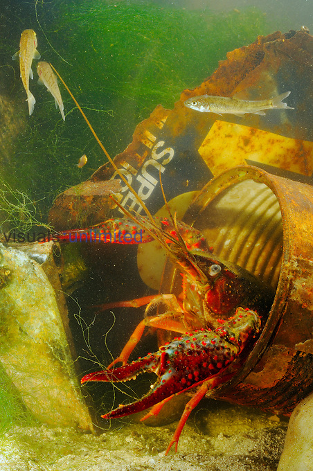 A Red Swamp Crayfish (Procambarus clarcki) hiding in a rusty can, an invasive species that can survive in highly polluted waters.