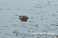 02929-00901 American Alligator (Alligator mississippiensis) Viera Wetlands Brevard County, FL