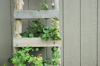 A rustic old ladder leaned against a wooden ship-lap wall, with plant intertwining with its steps - Free Stock Photo.