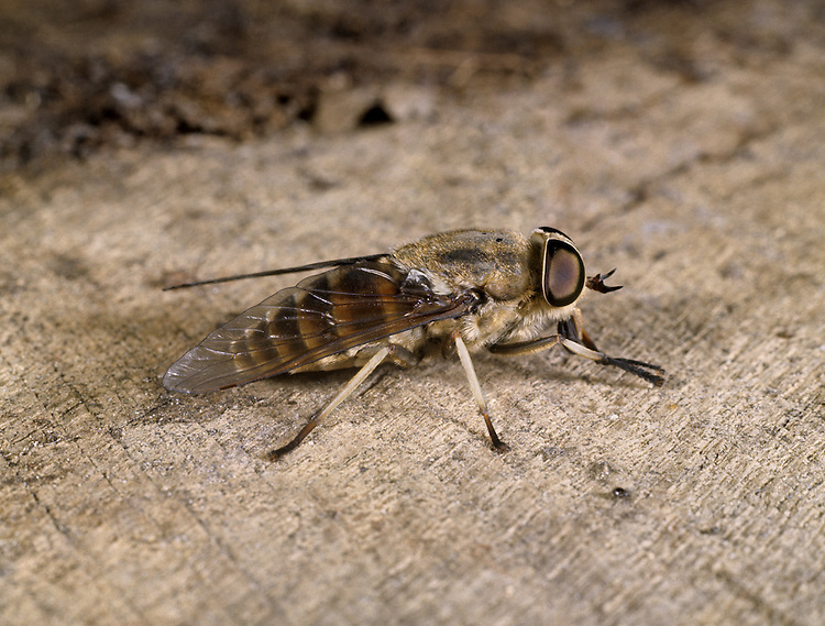 Band-eyed Brown Horse Fly - Tabanus bromius