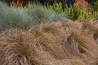 Carex flagellifera - Weeping Brown Sedge, Mophead Sedge -Los Angeles Botanic Garden