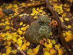 Forest Floor near Lockett Meadow, Arizona ©2017 James D Peterson.  Sometimes, Mother Nature's most refined artwork is right at your feet.  I discovered this elegant little tableau near the trail going from Lockett Meadow to the Inner Basin of the volcanic San Francisco Peaks, in the Coconino National Forest north of Flagstaff.