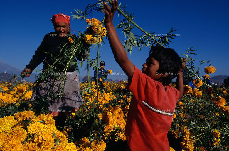 Families work at sunrise to pick flowers for Day of the Dead celebration. The pickers harvest zempazuchitl and other flowers for 8 pesos for a Maleta. The woman picker works with her grandson, one of 25 grandchildren.  She sells snow cones and fried snacks in Atlixco in other seasons. <br /> Atlixco is the flower capital of Mexico; roses and gladiolas are exported throughout the world from this Puebla State. Fields are full of yellow and red flowers picked to decorate alters and graves.